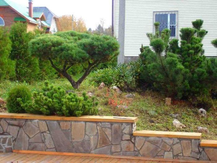 красивые стелющиеся хвойные деревья в ландшафтном дизайне дачного участка
