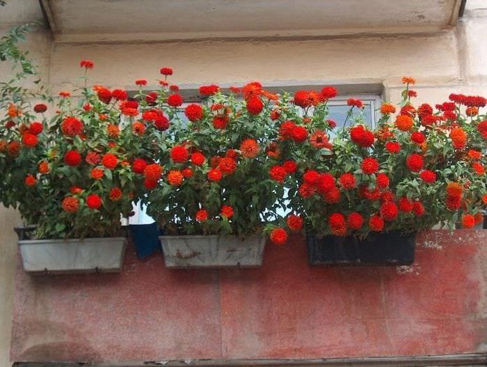 яркие цветы в интерьере балкона на перемычках пример