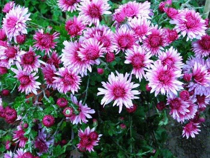 маленькие красивые цветы в ландшафтном дизайне дачи