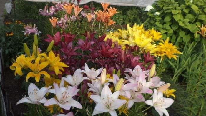 Наш сад про цветы
