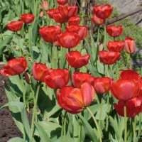 большие светлые цветы в ландшафтном дизайне дачи фото