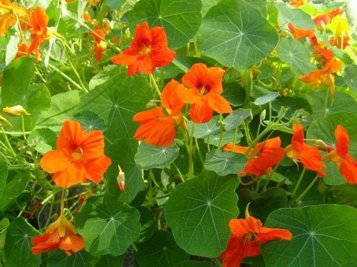 большие яркие цветы в ландшафтном дизайне дачного участка