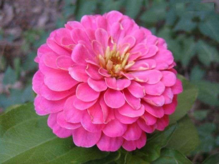 небольшие яркие цветы в ландшафтном дизайне розария