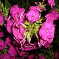 большие светлые цветы в ландшафтном дизайне загородного дома картинка