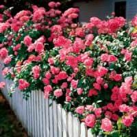 пример применения красивых роз в ландшафтном дизайне фото