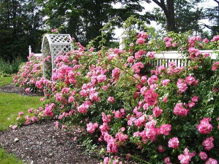вариант использования ярких роз в дизайне двора