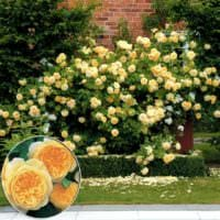 идея применения необычных роз в ландшафтном дизайне фото