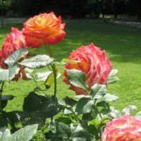 пример применения ярких роз в ландшафтном дизайне фото