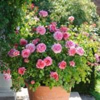 пример использования необычных роз в ландшафтном дизайне картинка