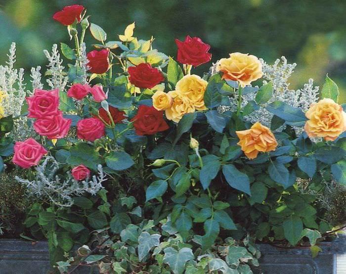 пример применения красивых роз в ландшафтном дизайне