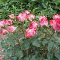 идея использования необычных роз в ландшафтном дизайне картинка