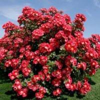 идея применения красивых роз в дизайне двора фото