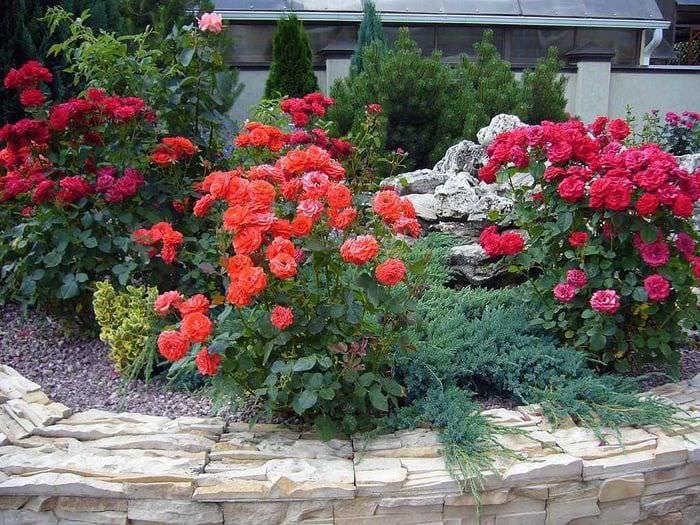 вариант использования светлых роз в ландшафтном дизайне
