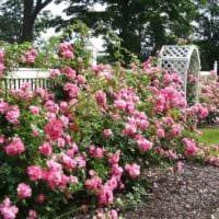 идея применения ярких роз в ландшафтном дизайне фото