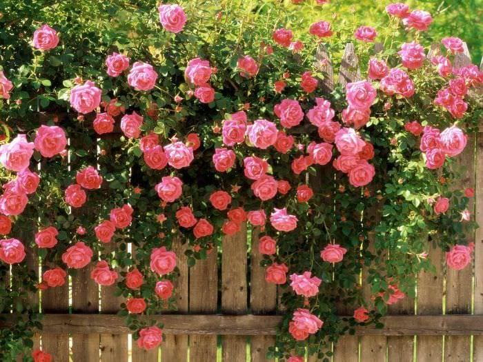 вариант использования красивых роз в ландшафтном дизайне