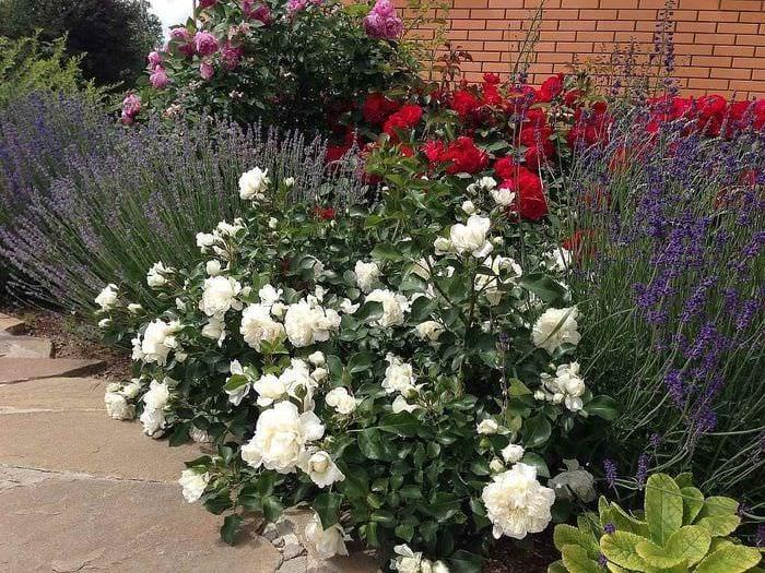 пример применения светлых роз в дизайне двора