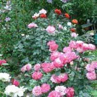 вариант использования необычных роз в дизайне двора картинка