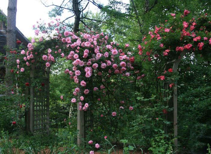 идея использования необычных роз в дизайне двора