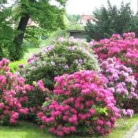 идея применения светлых роз в дизайне двора фото