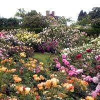 пример применения красивых роз в дизайне двора фото