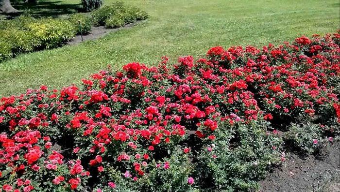 идея использования необычных роз в ландшафтном дизайне