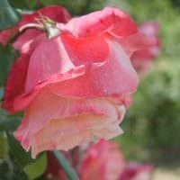 пример использования светлых роз в ландшафтном дизайне фото