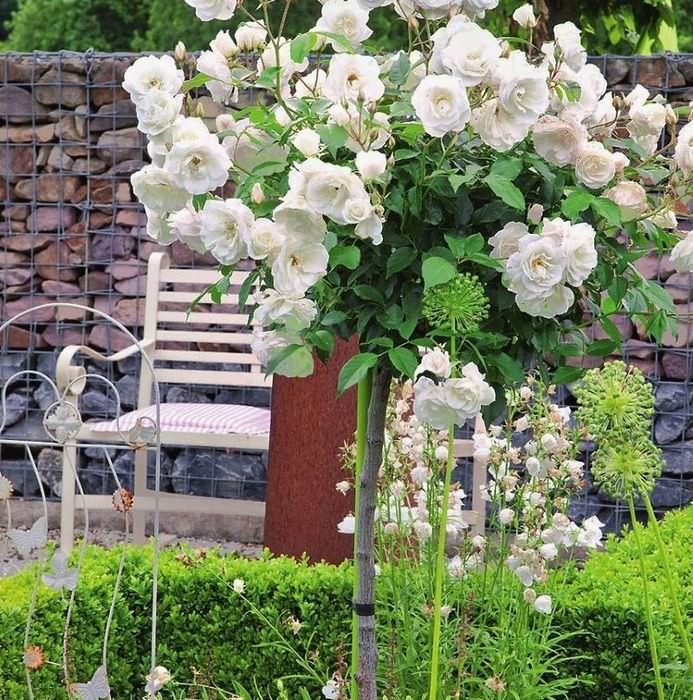 Цветение белой штамбовой розы на загородном участке