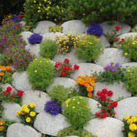Однолетние цветы между каменных валунов