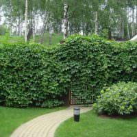 Девичий виноград в роли живой изгороди