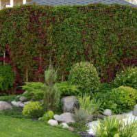 Вертикальное озеленение сада с помощью девичьего винограда