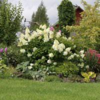 Клумба с цветущей гортензией на дачном участке