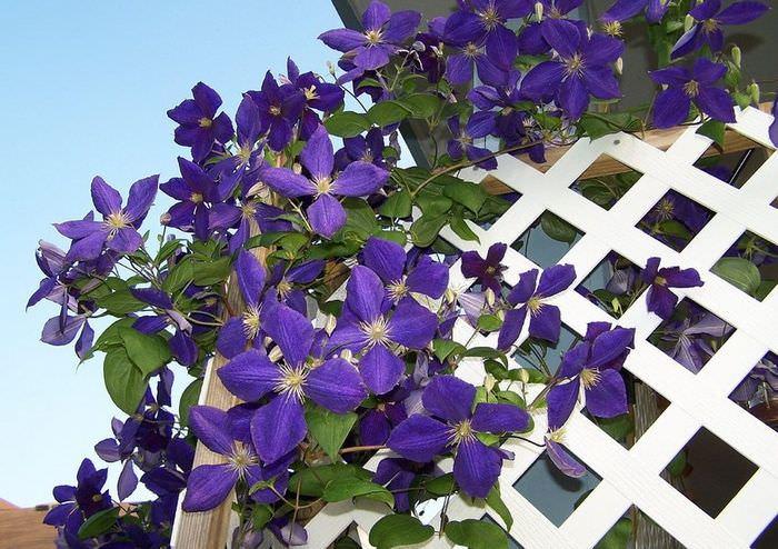 Крупные фиолетовые цветки клематиса на белой решетке садовой перголы