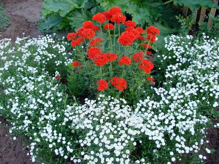 Сочетание красных и белых цветов на одной клумбе