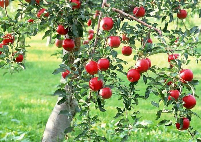 Красные яблоки на деревце в саду загородного дома