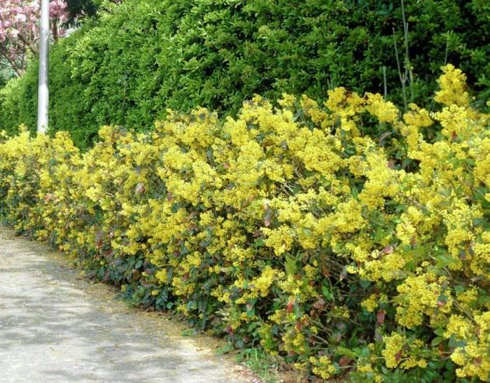 Живая изгородь из вечнозеленой магонии