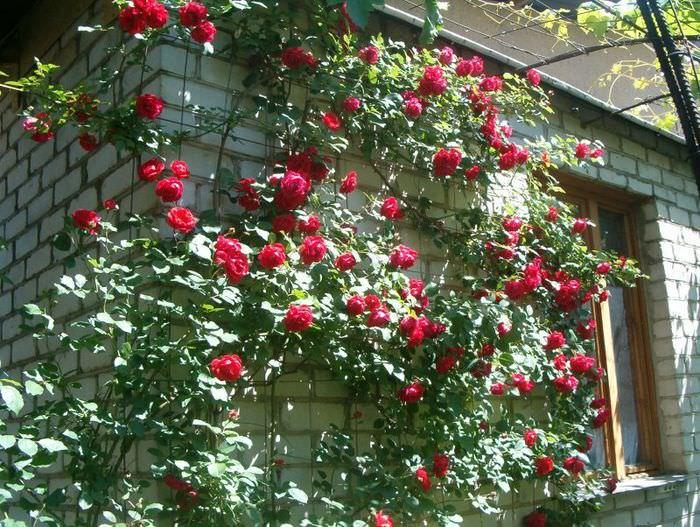 Красная плетистая роза на стене кирпичного дома