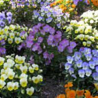 Разноцветные фиалки на садовой клумбе