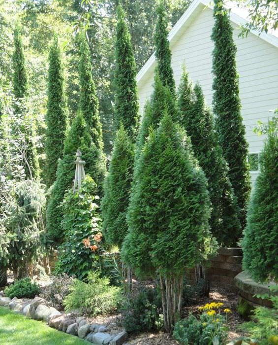 Высокие хвойные растения в дизайне садового участка