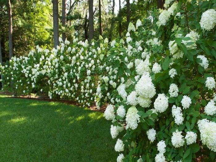 Оформление границ дачного участка с помощью цветущей живой изгороди