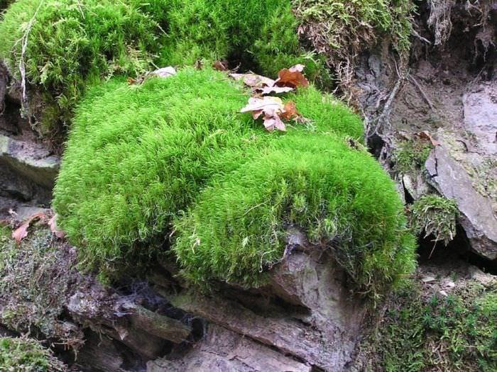 Живой мох на камне в естественных условиях