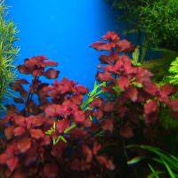 Бардовые листья подводных растений