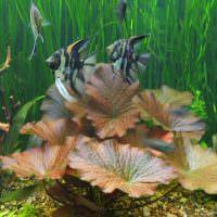Полосатые рыбки над большими листьями