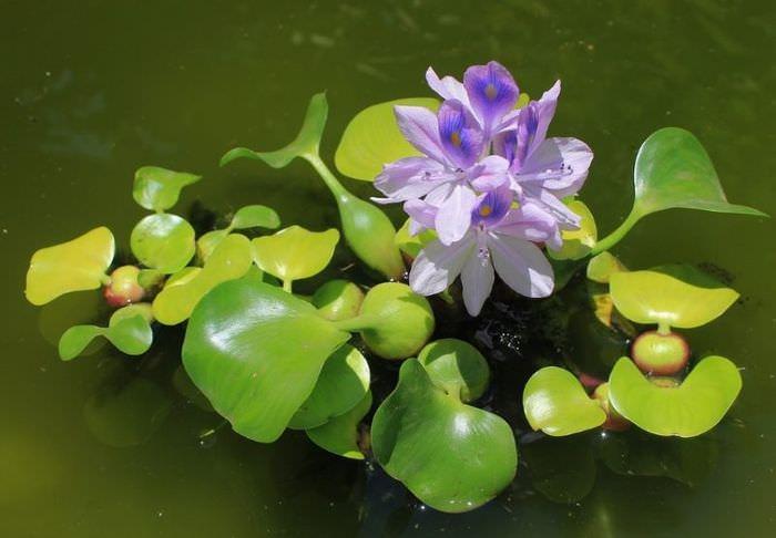 Водяной гиацинт эйхорния с сиреневыми цветками