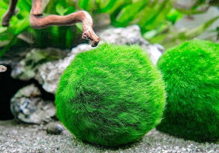 Зеленые шарики водорослей на дне аквариума