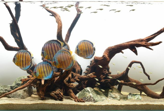 Полосатые рыбки в речном аквариуме