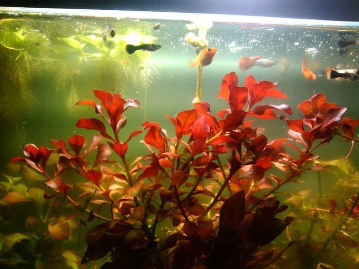 Красноватые листья болотной людвигии
