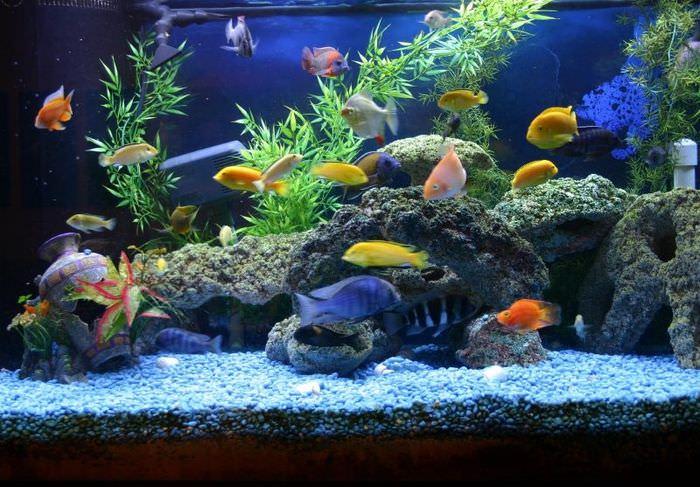 Живые рыбы в домашнем аквариуме
