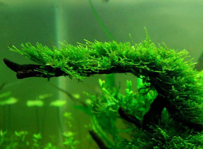 Коряга в аквариуме с яванским мхом