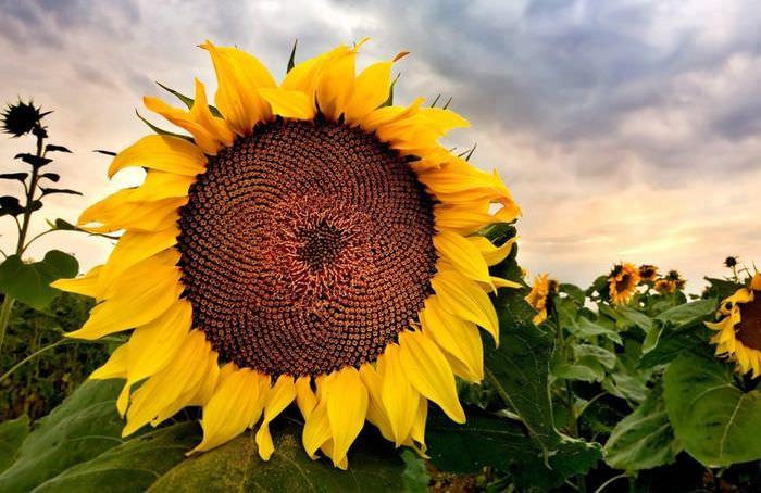 Фото цветка подсолнечника в период созревания семечек