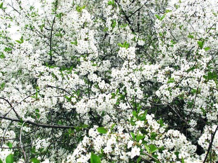 Цветение садовой вишни на дачном участке